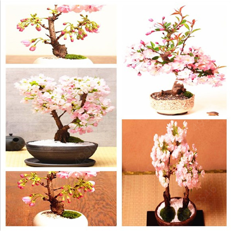 10pcs Bonsai Giant Pink Sakura Cherry Blossom Tree , Very Beautiful Oriental Cherry Tree Perennial Shrub Home Garden Plants