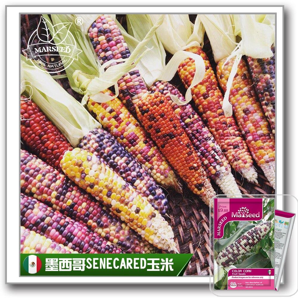 D015 彩色玉米 描述图