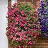 Garden Petunia A16