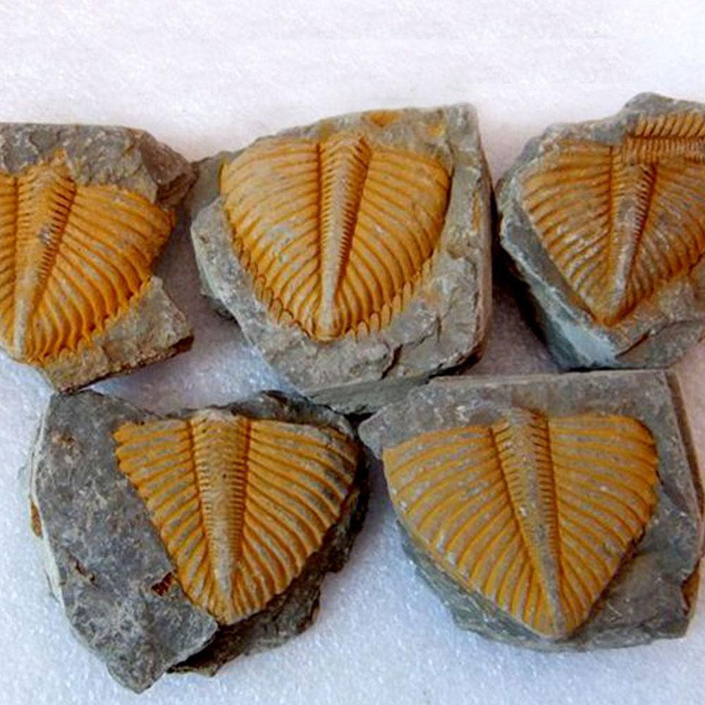 Natural Trilobite Tail Fossil Brachiopod Coral &Conchostraca Trilobites Crown Insect Tail Fossil Original Stone Teaching Science