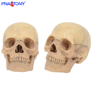 Detachable Anatomical Model Skull Medical Teaching Tool Color Skull 4D Disassembled 15PCS/Set PNATOMY Educational Model transparent human heart anatomical model life size detachable with base plastic made medical teaching tool pnatomy