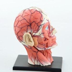 Image 2 - 치과 실험실 치과 의사 4D 인간의 머리 해부학 의료 두개골 모델 해골 이제까지 높은 인형 후