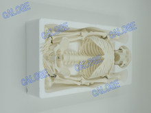 Ofertas especiais estão à venda & 45cm pequeno osso modelo, modelo de esqueleto humano, esboço de arte, presente, boneca. modelo humano