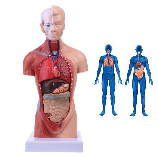 نموذج جسم الجذع البشري تشريح الأعضاء الداخلية الطبية التشريحية لتدريس 19QA
