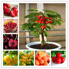 20 Pcs bonsai Dwarf Cherry Tree gaint Asilola (China)