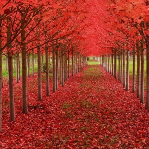 CAROLINA RED SCARLET MAPLE Tree Acer Rubrum  Park Landscaping View 20PCS
