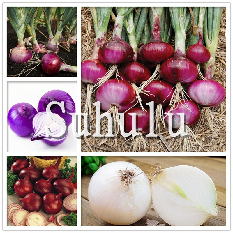 Sale!100 Pcs/bag Fresh Giant Purple Onion Plants Vegetable Plantas 95%+ Germination Vegetable Onion For Home Garden Easy To Grow