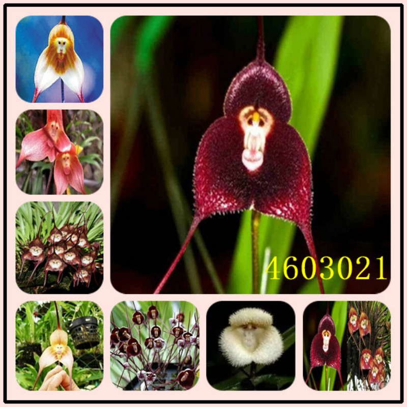 100 Pcs Orchids Monkey Face Orchid,false Flower Bonsai Plants Flower Pot Simulation Of Artificial Flowers Potted Gift