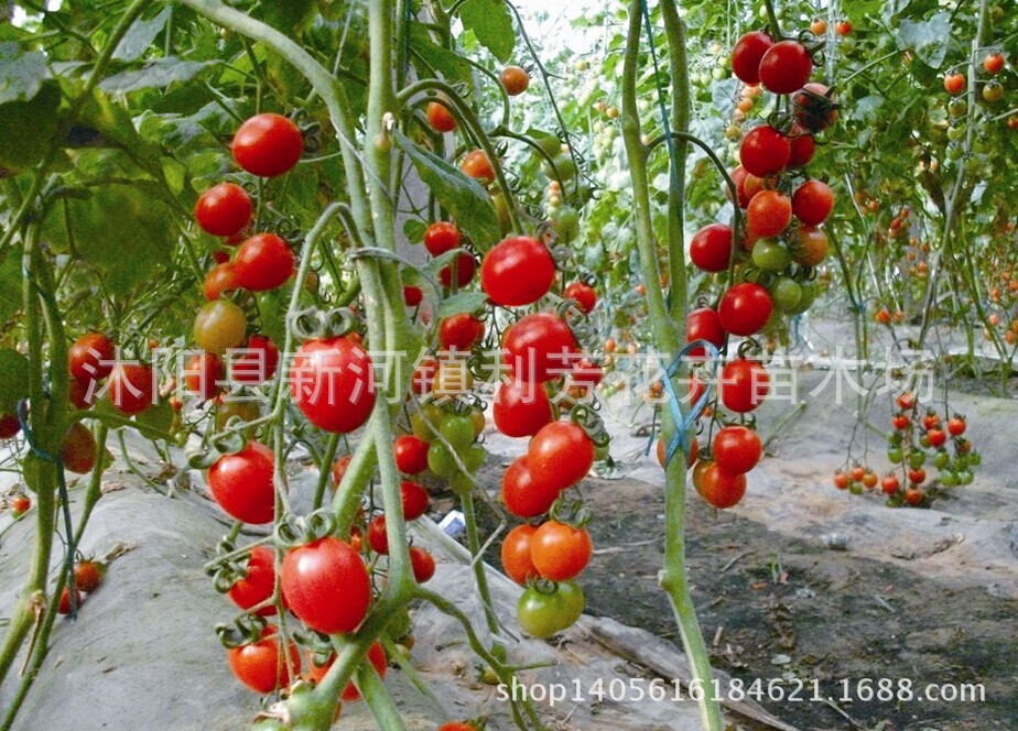 Potted Plant Dwarf Red Pearl Tomato Seed Cherry Tomatoes-Ornamental Fruits & Vegetable Seed