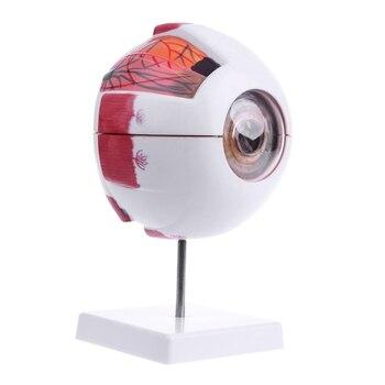 цена на Human Anatomical Natural Eyeball Model Medical Learning Aid Teaching Instrument