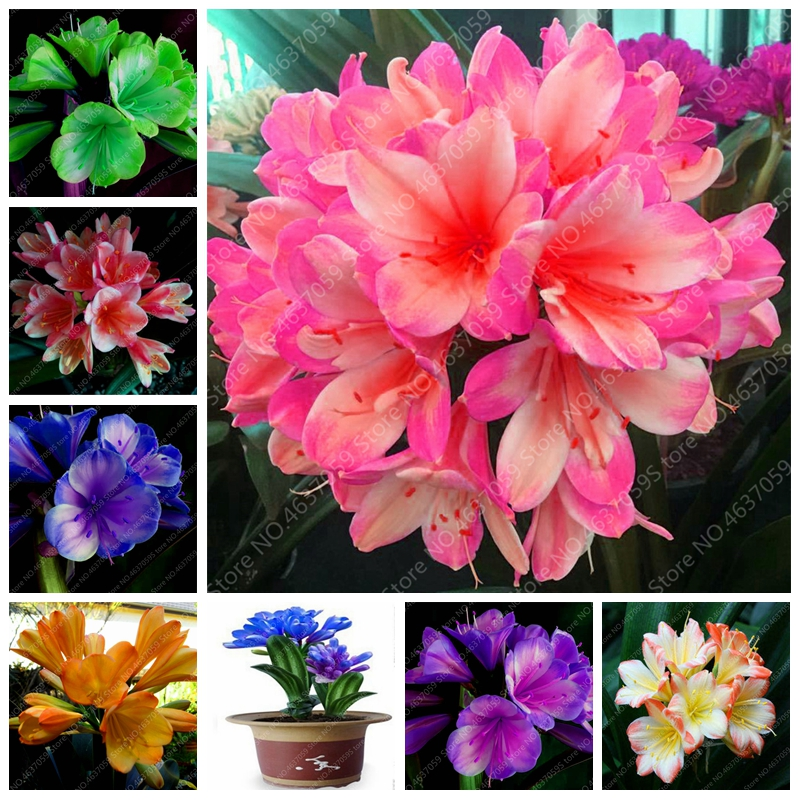 100 Pcs/ Bag Bonsai Clivia Flower Beautiful Bush Lily Potted Plants Perennial Indoor Flowering Clivia Miniata Garden Planting