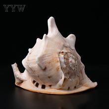Duże muszle rozgwiazda morskie dno morskie Coquillage Conchas Shell do dekoracji wnętrz Babylon Nautical Marine Home Decor Mare tanie tanio Maskotka Organiczny materiał 699800 different size for choice