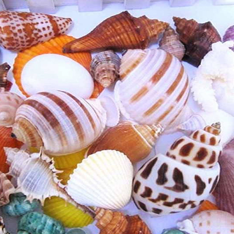 Natural Shell Decoration Cone Conch DIY Crafts Supplies Mediterranean Shellss Conch Starfish Landscape Aquarium Decorative AB