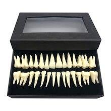 Полноразмерная модель зубного полового рта 28 дюймов монохромная