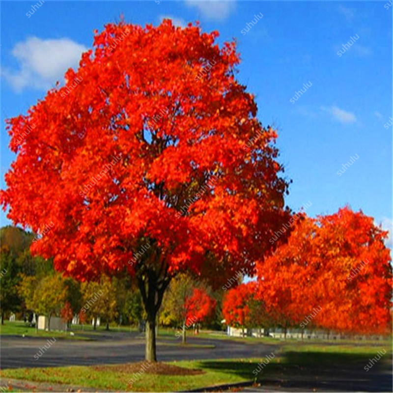 10 Pcs American Red Oak Bonsai Quercus Tree Perennial Woody Plants Courtyard Decoration For Home Garden Planting, Easy To Plant