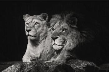 Black and White Lion Couple Picture Printed on Canvas 6