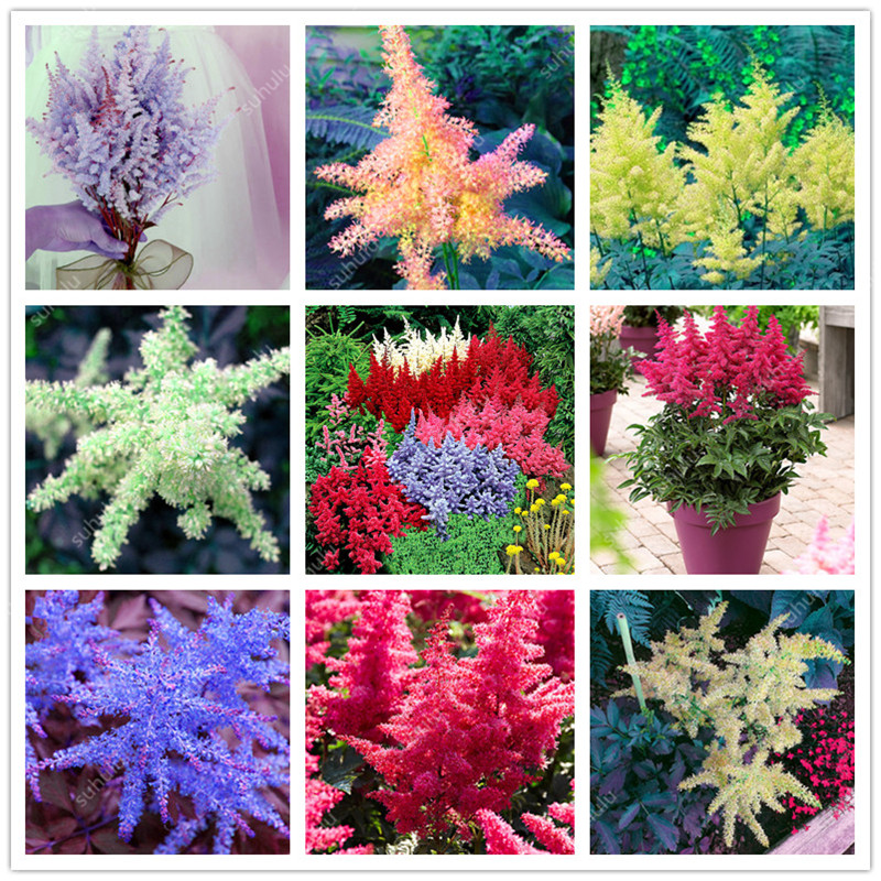 Hot Sale! Mixed 9 Colors Astilbe Chinensis Bonsai 100 Pcs Bonsai Purple Red White Blue Pink Green Colorful Perennial Garden