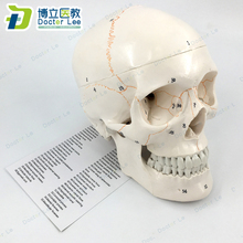 3 Parts Life Size Human Skeleton Skull Anatomical Model with Numbers for Medical Teaching and Learning