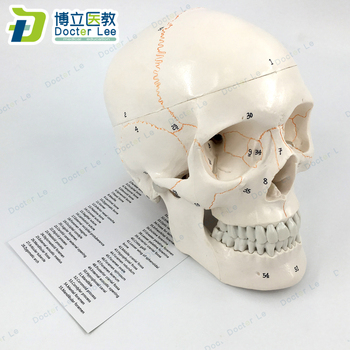 3 Parts Life Size Human Skeleton Skull Anatomical Model with Numbers for Medical Teaching and Learning 85cm skeleton model with nerves system medical teaching educational equipment skeleton anatomy human spine and skull anatomical