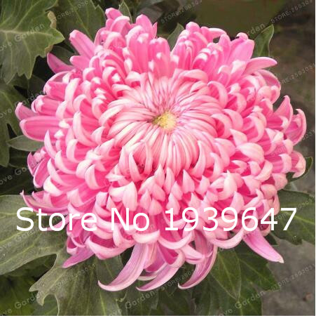 New Arrival ! Bonsai Flower Potted White Chrysanthemum Flower Potted Plant Garden 100 Particles / Lot