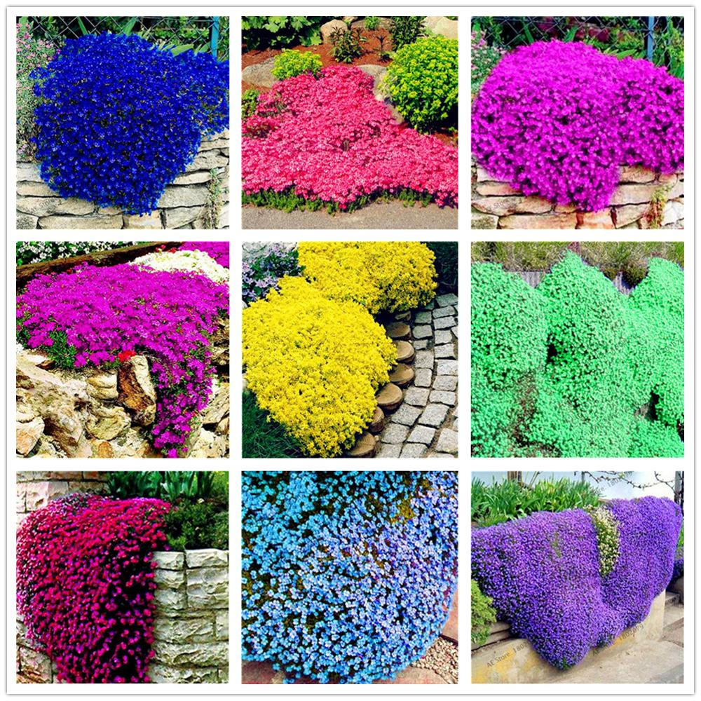Plant Flower Bath Salts Rare Rock Cress Essence 100Pcs XZZ-230