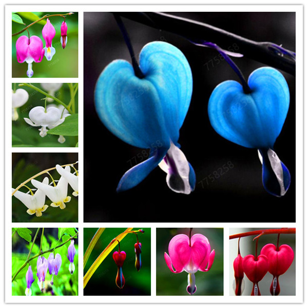 100 Pcs Heart Flower Dicentra Spectabilis Purse Peony Plants Air Purification Penzai Heart Wallet Foliage Plant For Home Garden