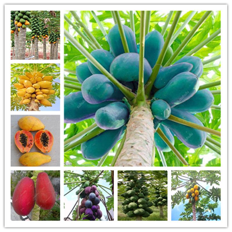 20 Pcs Giant Fresh Papaya Bonsai Natural Organic Fruit Tree Bonsai Perennial Potted Plants For Home Garden Spring Farm Supplies