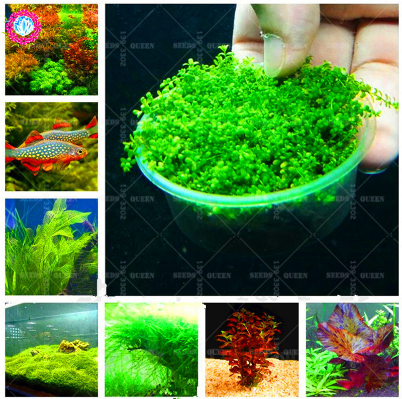 500Pcs Aquatic Grass Bonsais Colorful Underwater Moss Aquarium Flower Pot Bonsais Fish Tank Landscape Ornamental Decor Bonsai