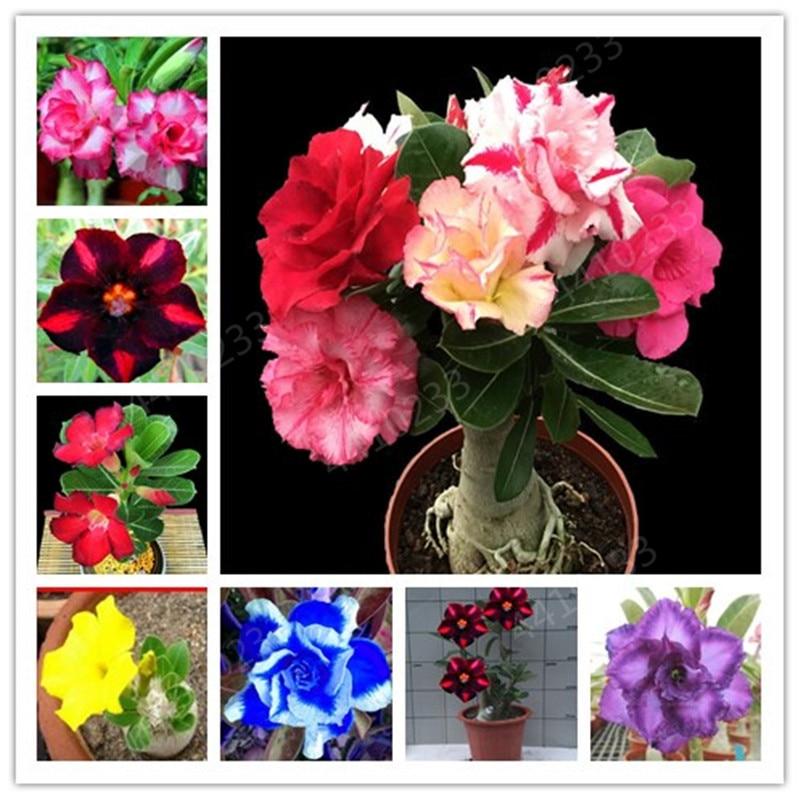 Dwarf Desert Rose Bonsai Potted Flowers