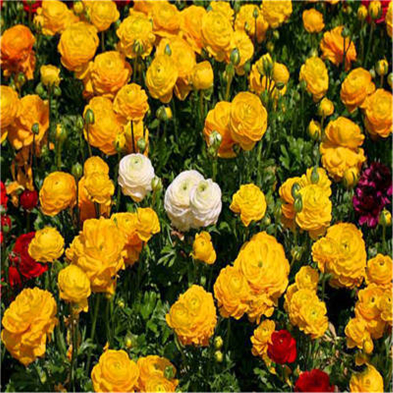 100Pcs Mixed Ranunculus Flower Bath Salts For Home Garden DIY Plantas Persian Buttercup Home And Garden Flower Plantas Salts