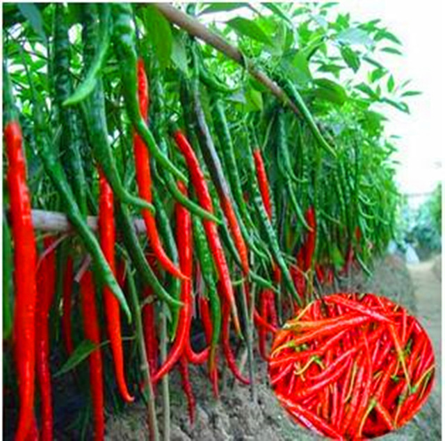 200pcs Long Hot Pepper Bonsai Plants Red Hot Chilli Peppers Fruit And Vegetable For Home Garden Planting Flower Pot Supplies