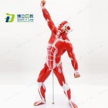 50 см человеческие анатомические модели мускулатуры рисунок