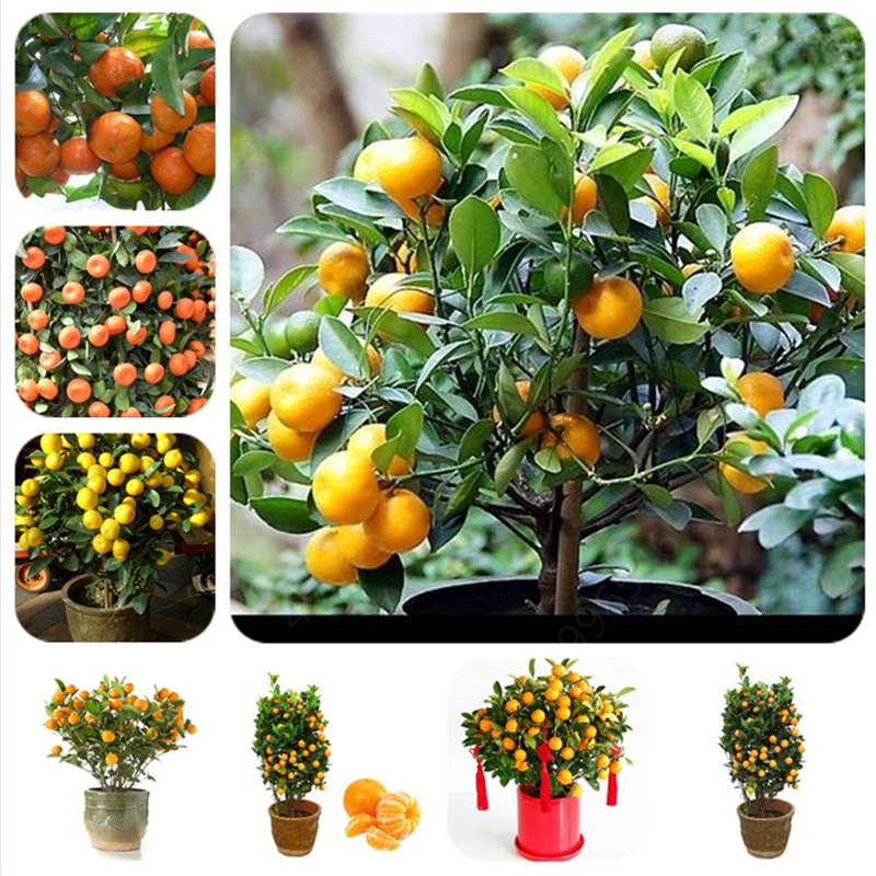 2019 Sale!10pcs Citrus Plant Bonsai Mandarin Orange Bonsai Edible Fruit Bonsai Tree Plant Healthy Food Home Garden Easy To Grow