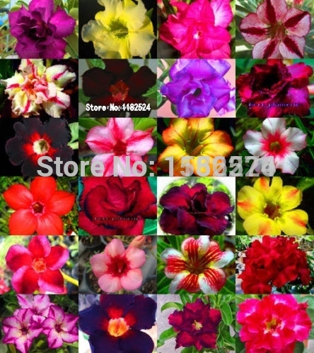 10PCS 100% Fresh Real Adenium Obesum o - Desert Rose Flower  o title=