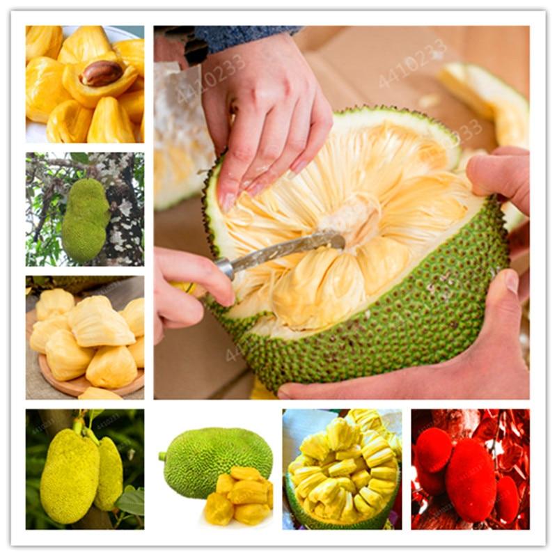 Fresh Jackfruit Bonsai Fruit Trees Tropical Rare Giant Tree Plant Rare Miracle Fruit Garden Plant New Big Flowering Plant 5 Pcs