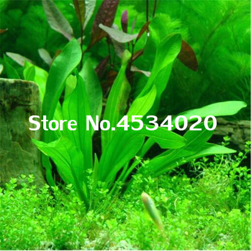 500 Pcs Rare Aquarium Planter Java Moss Grass Bonsai Raros Gifts Plants Aquario Fish Tank Aquatic For Home Garden Decoration