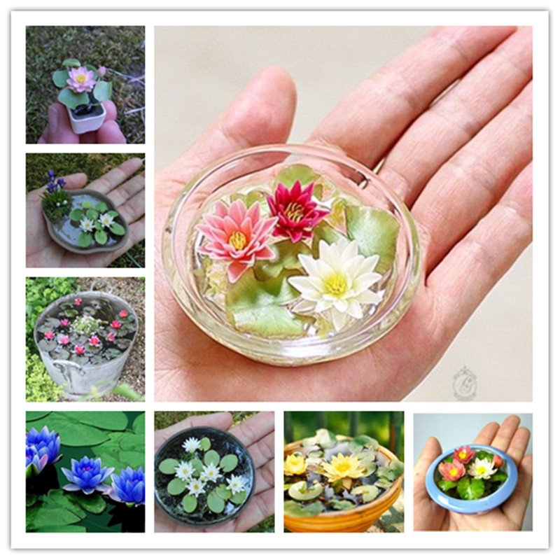 20 Pcs/Bag Lotus Flower Material Mini Lotus Bowl Lotus Water Lily Flores Perennial Plant Essential Oil for Home Garden Decorat image