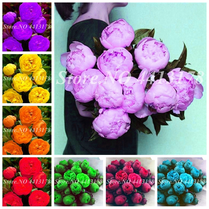New! 10 Pcs Bonsai Peony Flore Mix Colors Indoor Potted Paeonia Suffruticosa Flower For Home Garden Plant Flower Pot Planters