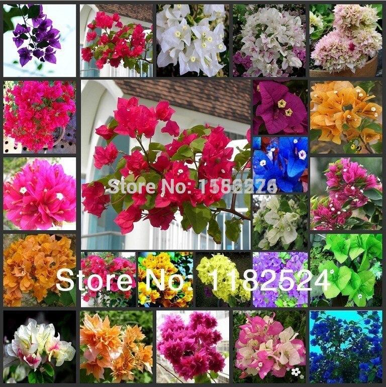 100PCS Bougainvillea Spectabilis Willd Flower S