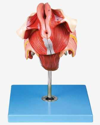 Gambar Rahim Manusia : gambar, rahim, manusia, Vagina, Wanita, Rahim, Organ, Reproduksi, Model, Anatomi, Midsagittal, Bagian, Panggul, Perineum|, AliExpress