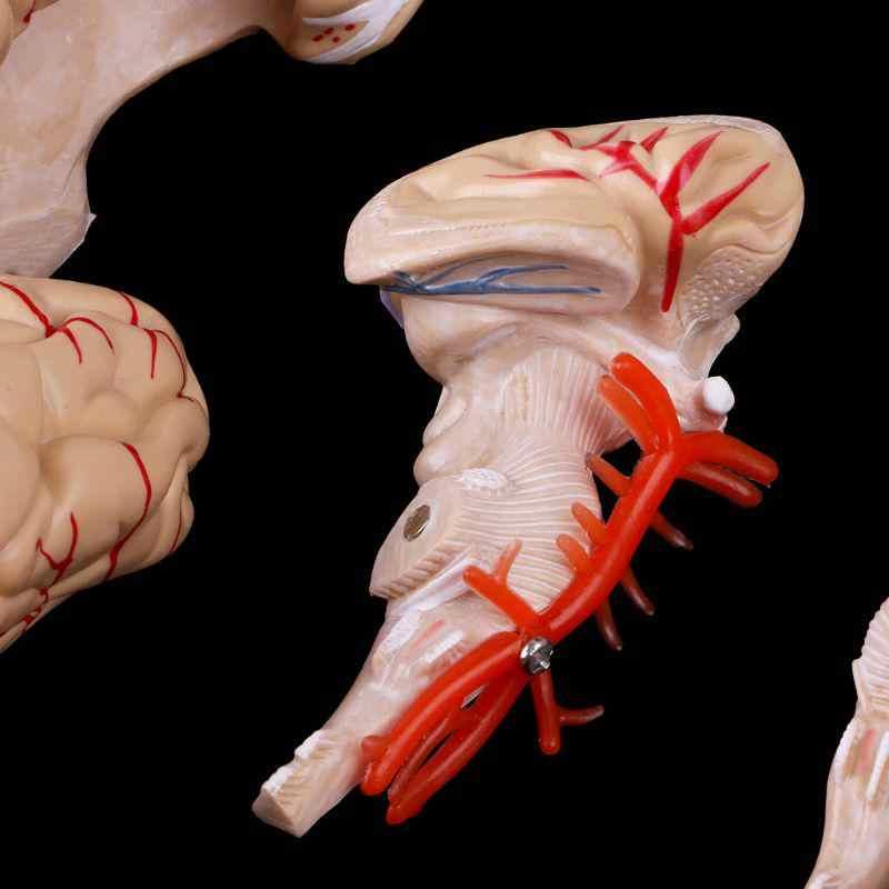 Bộ Não Con Người Mẫu Mạch Máu Não Mẫu 8 Phần Não Con Người Giải Phẫu Mô Hình Giải Phẫu Y Tế Khoa Học Giáo Dục Mẫu