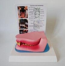 Dente di cane Modello di Anatomia Canine Veterinaria Scheletro di Animale Pet Strumento di Insegnamento Anatomia Veterinaria