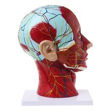 Sagital plano 1:1 cabeça humana esqueleto pescoço vaso nervo sangue cérebro humano anatômico metade cabeça rosto anatomia modelo