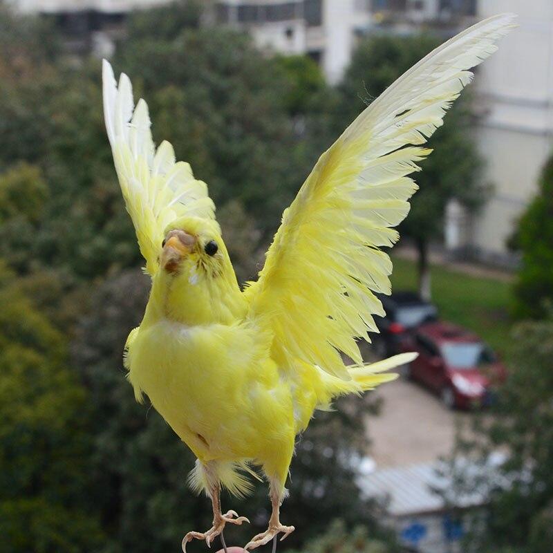 budgerigar budgie papagaio espécime ensino decoração