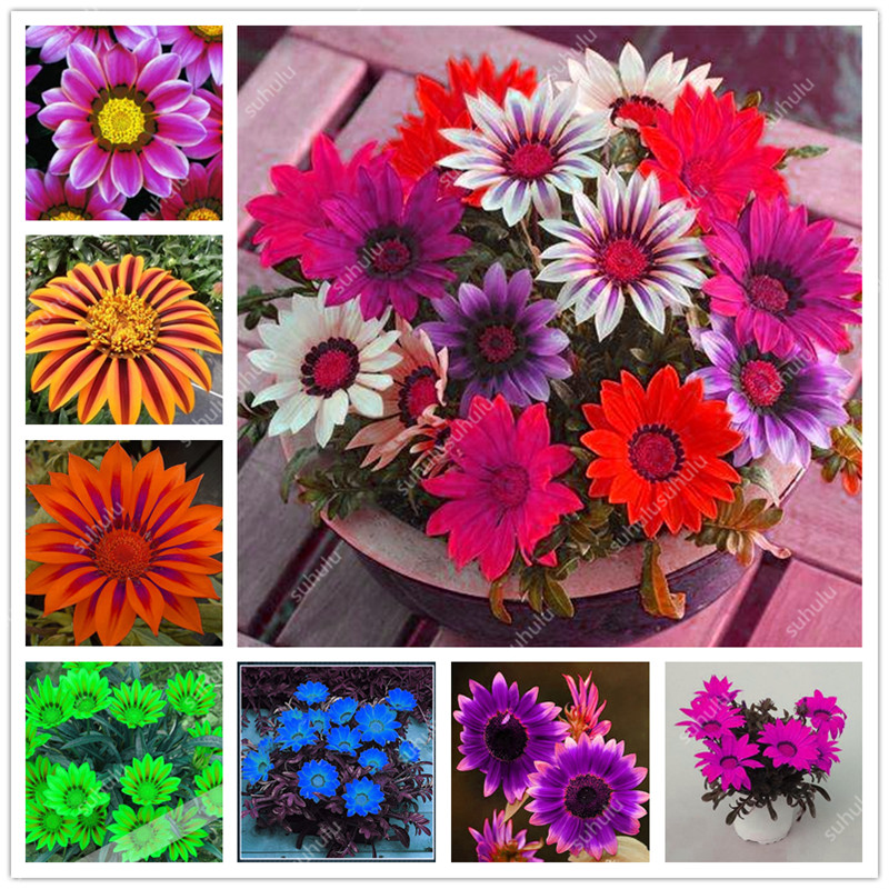 Free Shipping 100 Pcs Chrysanthemum Bonsai Gazania Rigens Plants Rare Flowers Bonsai Home Balcony Garden Bonsai Easy To Grow