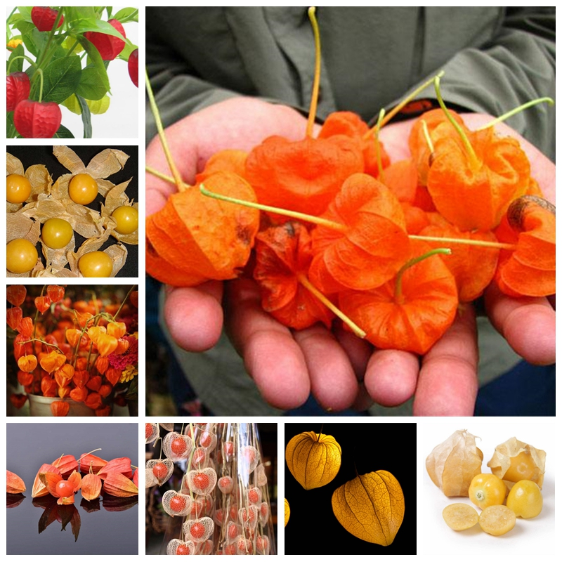 100 PCS Red Currant Fruit Plant Pan-American Gooseberry Lantern Fruit Physalis Landscape Home Garden For Flower Pot Planters