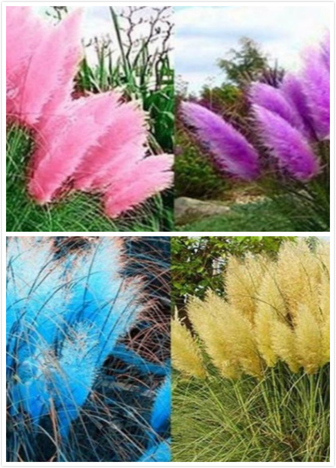 Pampas Seeds Pampas Seeds Silver Reed Seeds Hardy Grass Seeds Ornamental Pampas Grass
