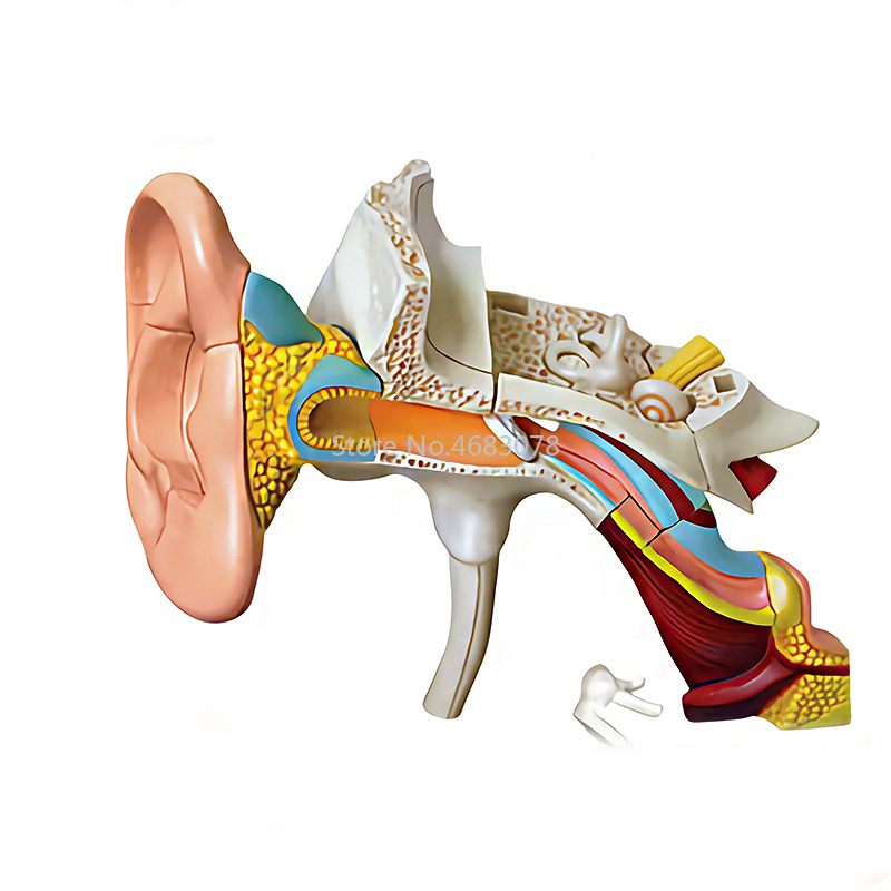4D Human Ear Canal Structure Anatomy Model Teaching Aid Puzzle Assembling Toy School Medical Teaching Supplies
