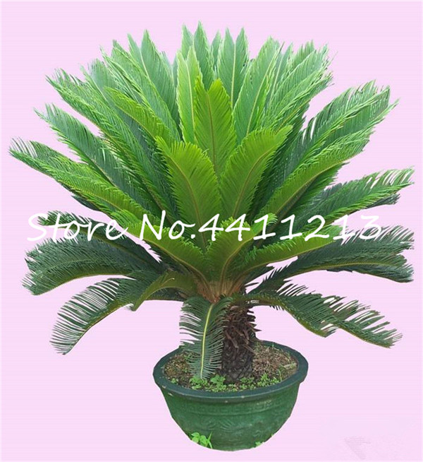 New Arrival 10 Pcs Cycas Tree, Mini Sago Palm Tree Bonsai Flower, Budding Rate 97% Rare Room Potted Plant For Home Garden