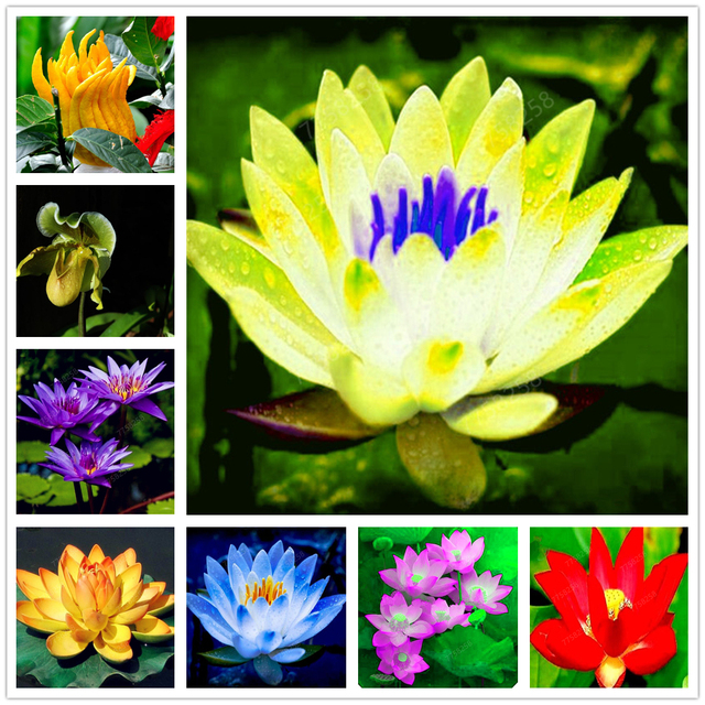 100Pcs Bowl Lotus Water Lily Flower Bathing Salt for Home Garden Flower Fragrance Bath Salts